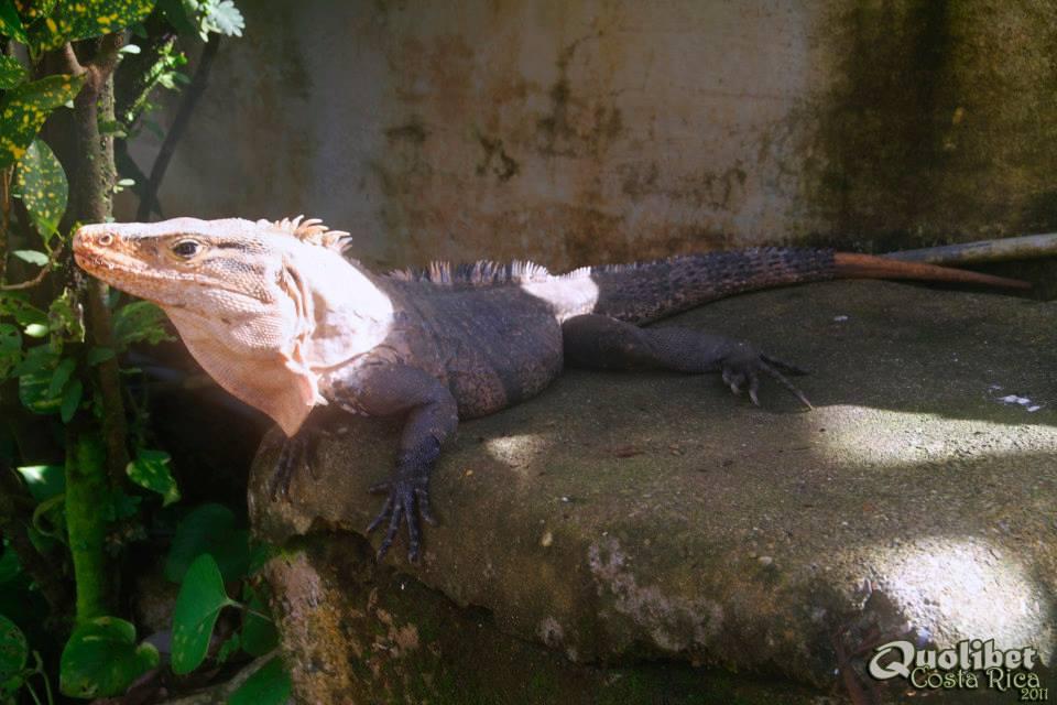 ctenosaura_similis